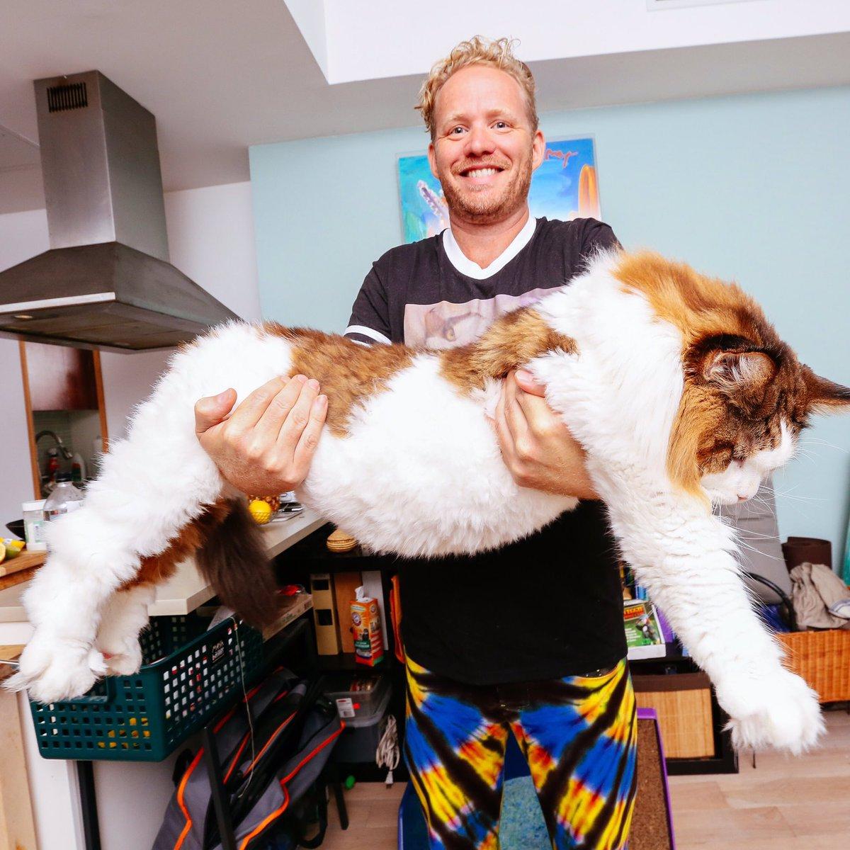 SAMSON THE CAT AKA CATSTRADAMUS - LARGEST CAT IN NYC!  #Catstradamus #Samson #SamsonCat #LargestCat https://t.co/HxAdmHBPsf