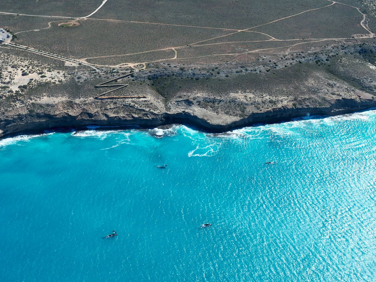 A record 81 southern right whales with calves! Go see SA's Head of Bight spectacular before BP's oil rig arrives. https://t.co/ivoRkqfjeh