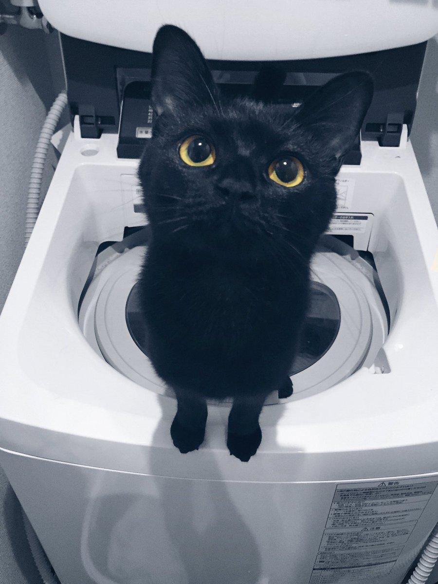[ネコ]眼差しの愛らしさには定評のある黒猫です[2016年8月23日]