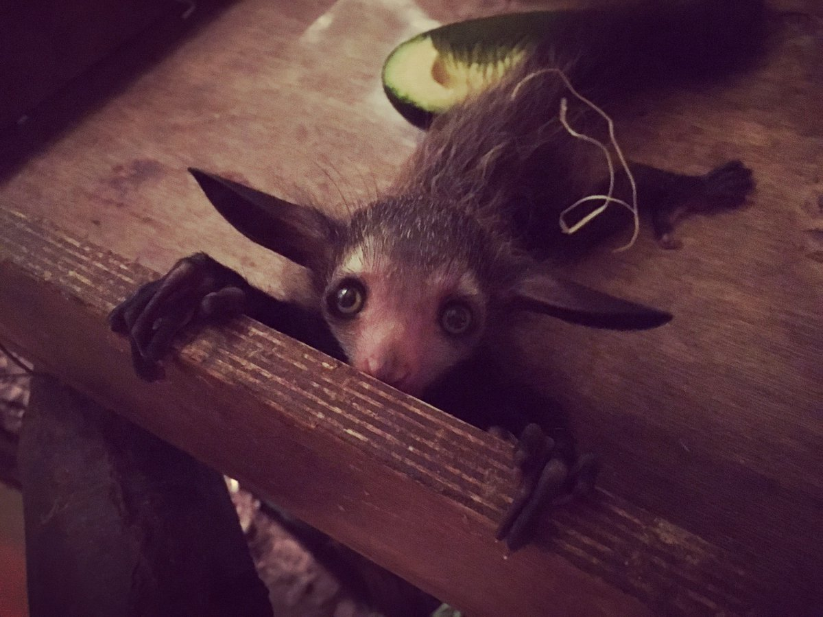 We're absolutely thrilled to announce the first aye-aye birth at Durrell Wildlife Park in 13 years! https://t.co/FpUG2Dfmy9