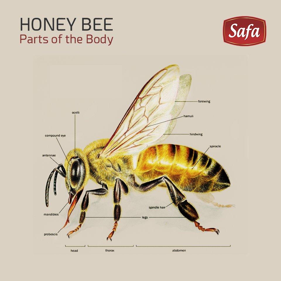 Bee leg anatomy