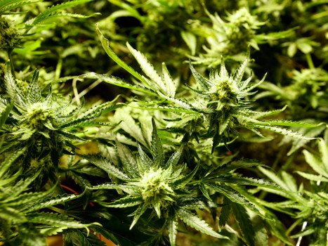Thornton says yes to marijuana sales in face of vocal opposition by @abuvthefold