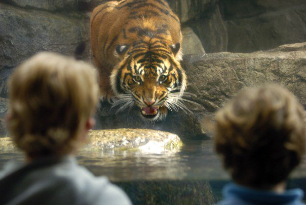Two 12-year-olds start petition to get rid of tigers at Downtown Aquarium