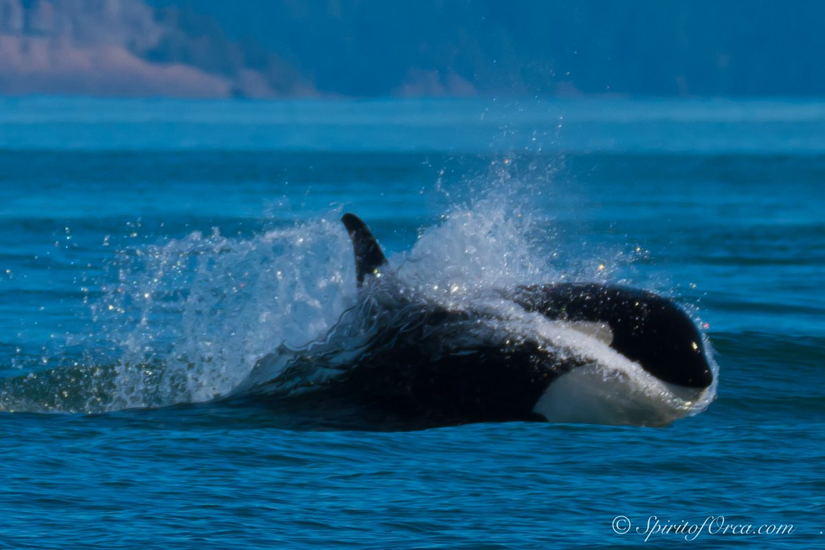 Southern Resident Killer Whales from Ken Rea w/ 'Spirit of Orca' PHOTOS >>