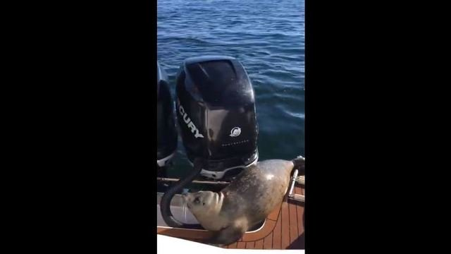 Video catches seal escaping orcas on a boat