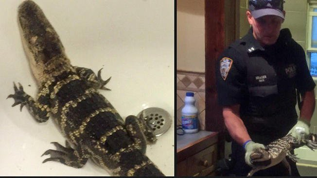 Officers responding to burglary call find gator taking a bath
