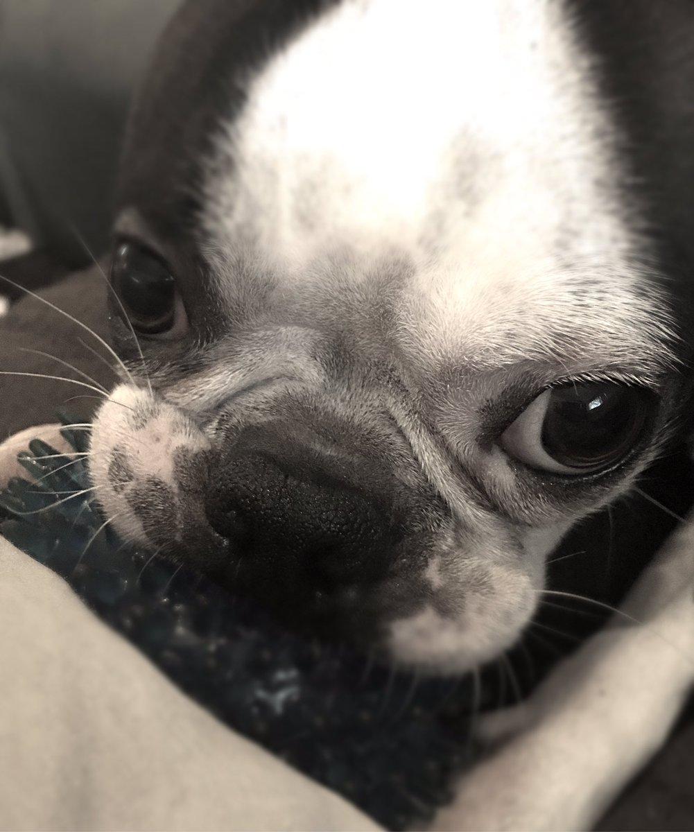 Cuteness overload on #NationalDogDay #Hank #TheBostonTerror