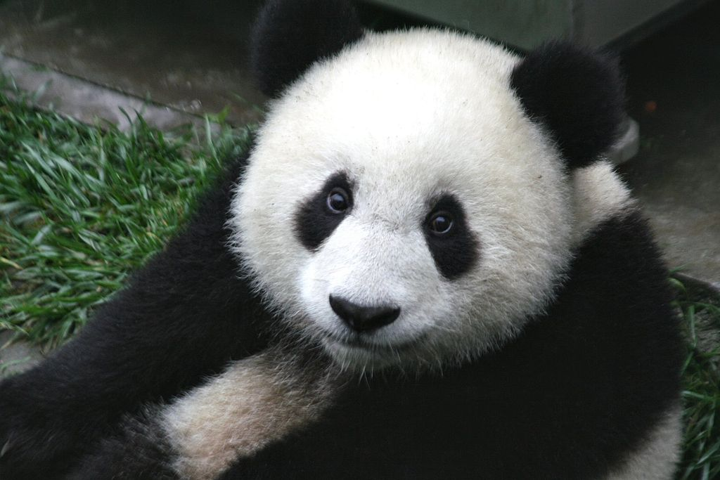 Good news for Giant Panda and Tibetan Antelope in updated IUCN Red List: https://t.co/iGgFU9eNh6 #IUCNcongress https://t.co/oQsRrym5bt