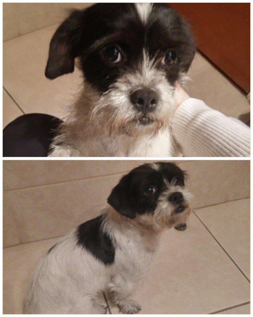 Encontré en Av.Salvador a perrita aprox 2 años,mezcla shiatzu/fox terrier.Si eres su dueño contáctame. @tv_mauricio https://t.co/GkzfP6yw4n