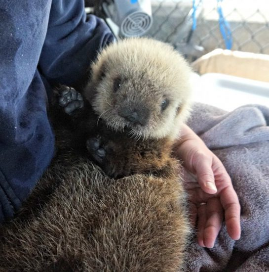 Probably the cutest thing you'll see all day - A new baby Sea Otter is coming to @vanaqua! https://t.co/Mjk7MsmNFo https://t.co/0eN2vzPkwI