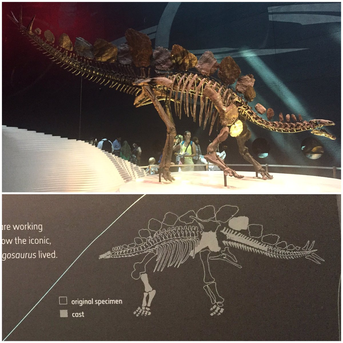 #FossilFriday Sophie, the most complete stegosaurus ever found, at @NHM_London. https://t.co/aCvgb4GJbs