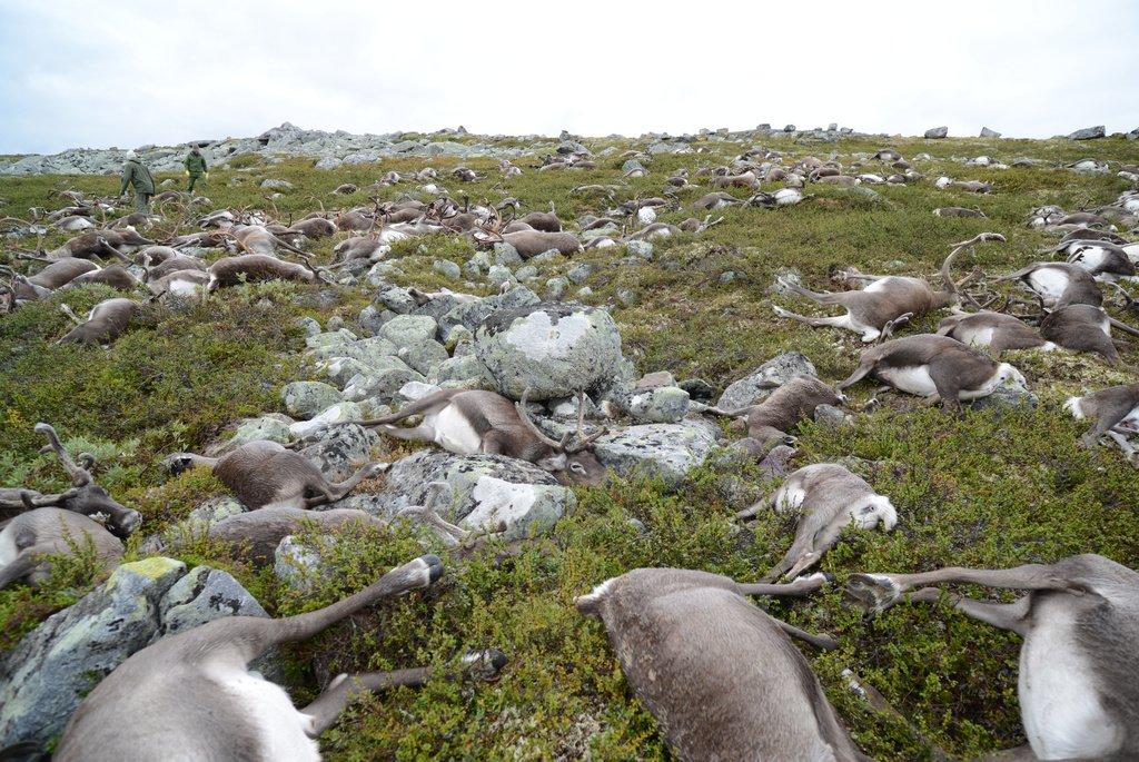 Un rayo fulmina a 300 renos en Noruega.Tienden a agruparse cuando hay tormenta pero nunca se vio un impacto tan alto https://t.co/8bv4G1K7UA