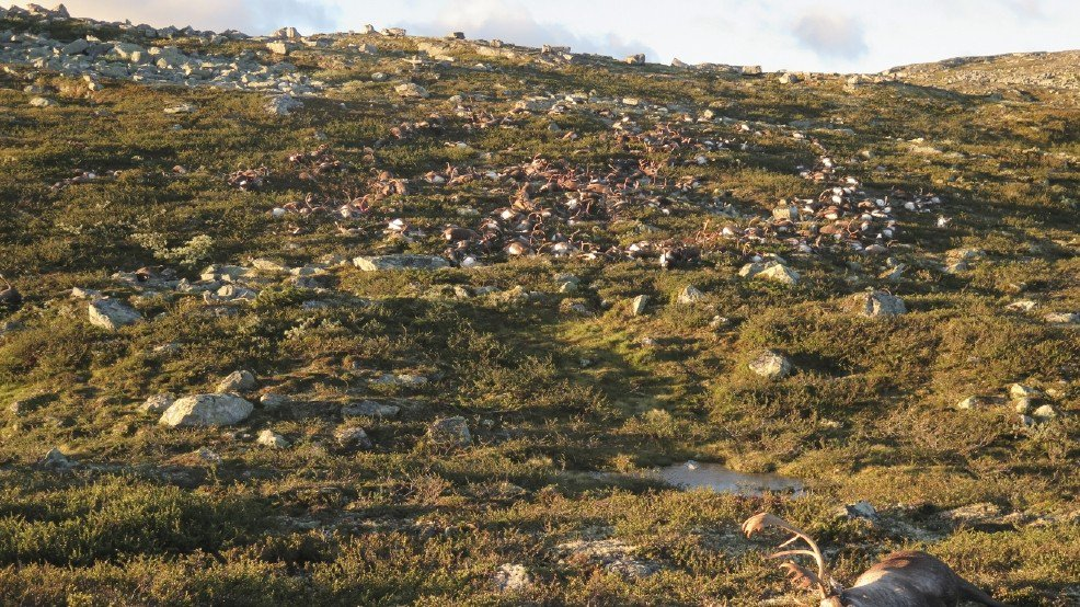 More than 300 reindeer killed by lightning during storm in Norway