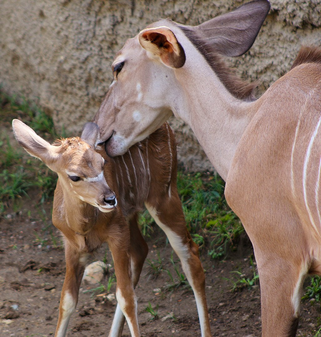 Indianapolis Zoo on Twitter BIRTH ANNOUNCEMENT Our kudu herd – Birth Announcements Indianapolis