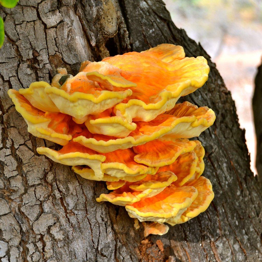 нового гриб трутовик фото и описание съедобный кто