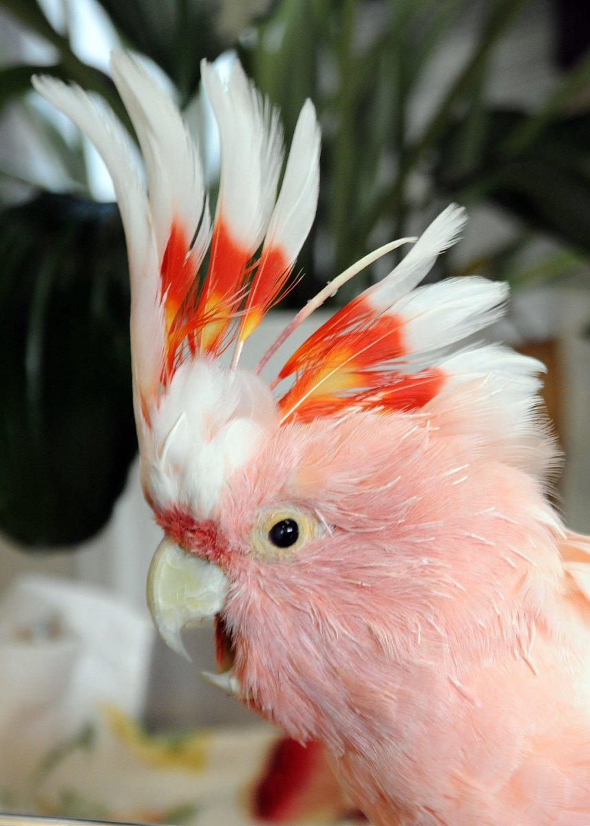 Brookfield Zoo's beloved 'Cookie' cockatoo dies at 83