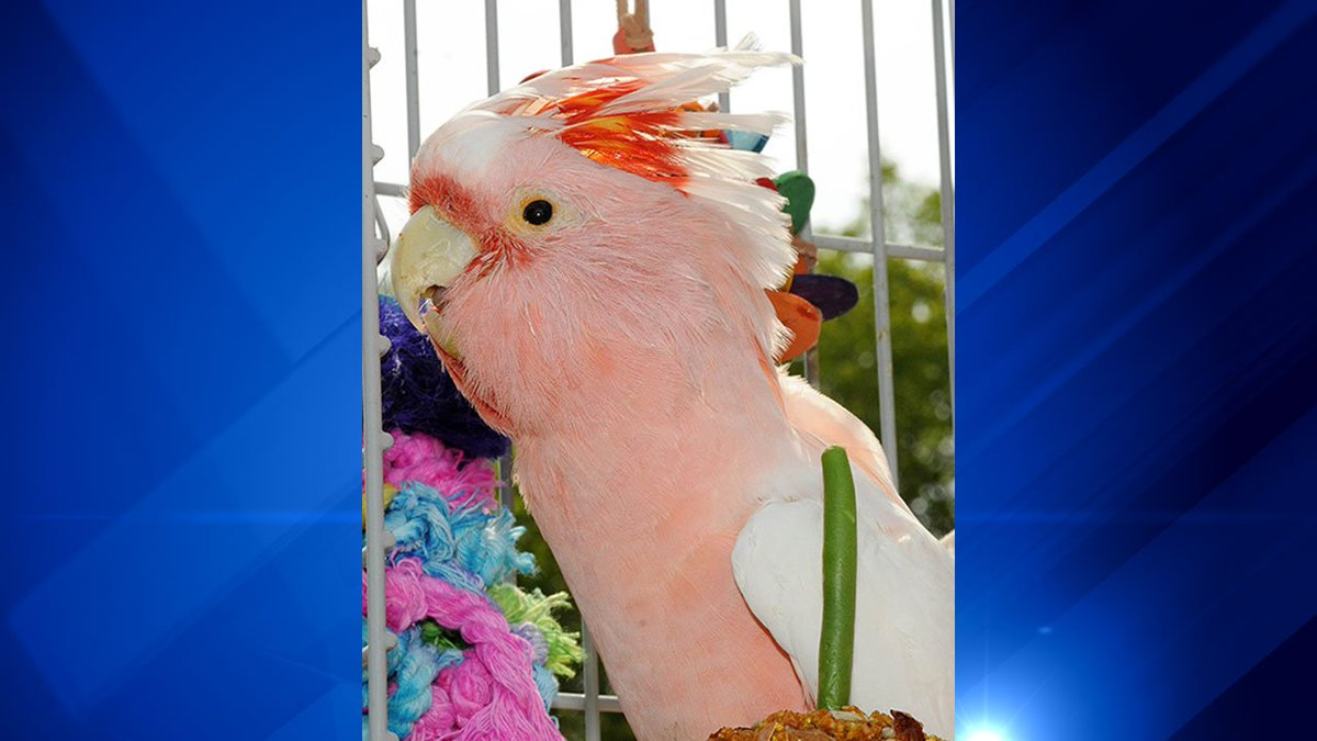 Cookie, an 83-year-old cockatoo at Brookfield Zoo, has died