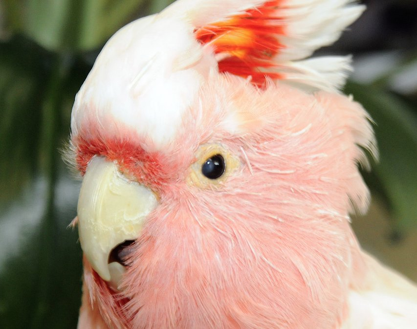 Cookie the cockatoo, oldest Brookfield Zoo resident - he was there at opening - dead at 83.