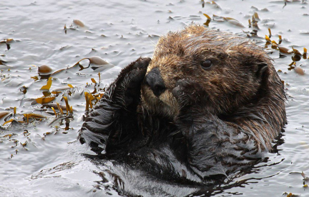 $10K reward by @CaliforniaDFW for info on whoever shot and killed 3 sea otters off Santa Cruz County coast