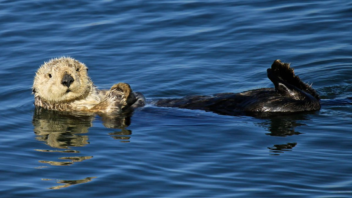 $10K reward offered in fatal shooting of three sea otters...