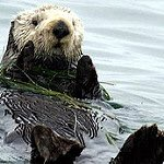 $10,000 reward for info about whoever shot & killed at least 3 seaotters in SantaCruz. Contact Fish & Wildlife.