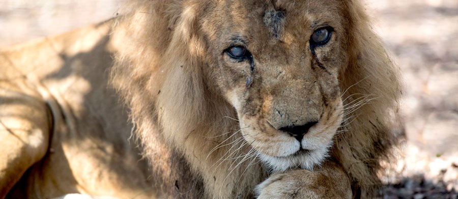 Imagine promising to care for no fewer than 33 lions – for life. https://t.co/nsrDbiGc0o #BigIssueSA https://t.co/LPD8TJ1p2J