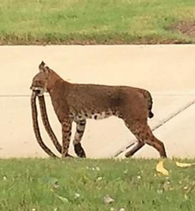 Great pic taken Monday in Del Webb by Rosenberg, Etc. of a Bobcat with a Rat Snake! Both native species.