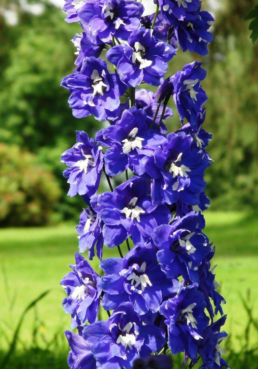 Bryngwyn On Twitter Plant Of The Week Is Delphinium Elatum Blue