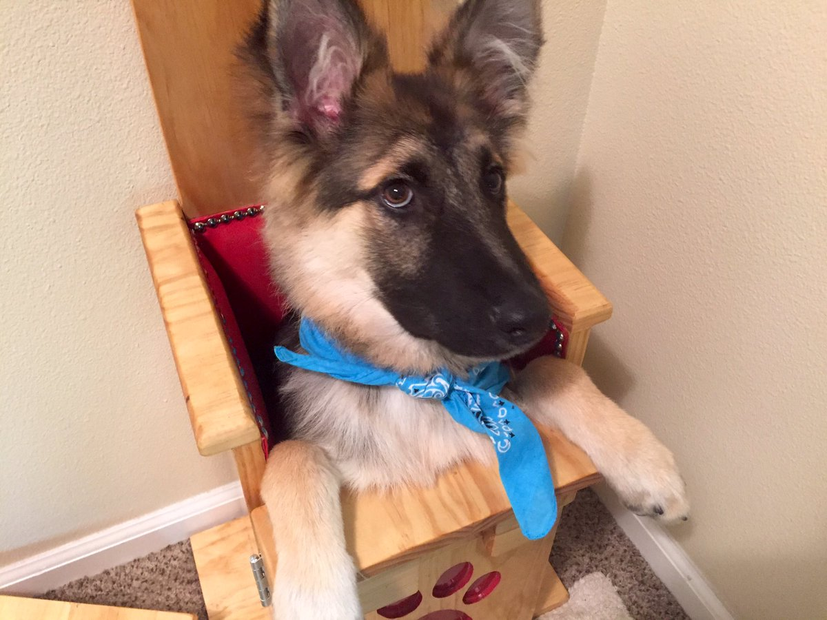 German Shepherd Finally Able To Eat Thanks To Special Gravity Chair