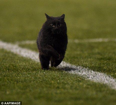 [ネコ]オーストラリアのラグビー場。試合中に乱入、フィールドを駆け抜ける猫。[2016年8月31日]
