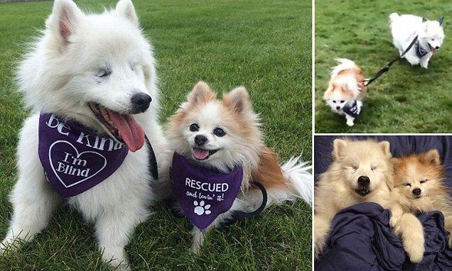 This Blind Eskimo Dog Follows His Tiny Pomeranian Best Friend Around