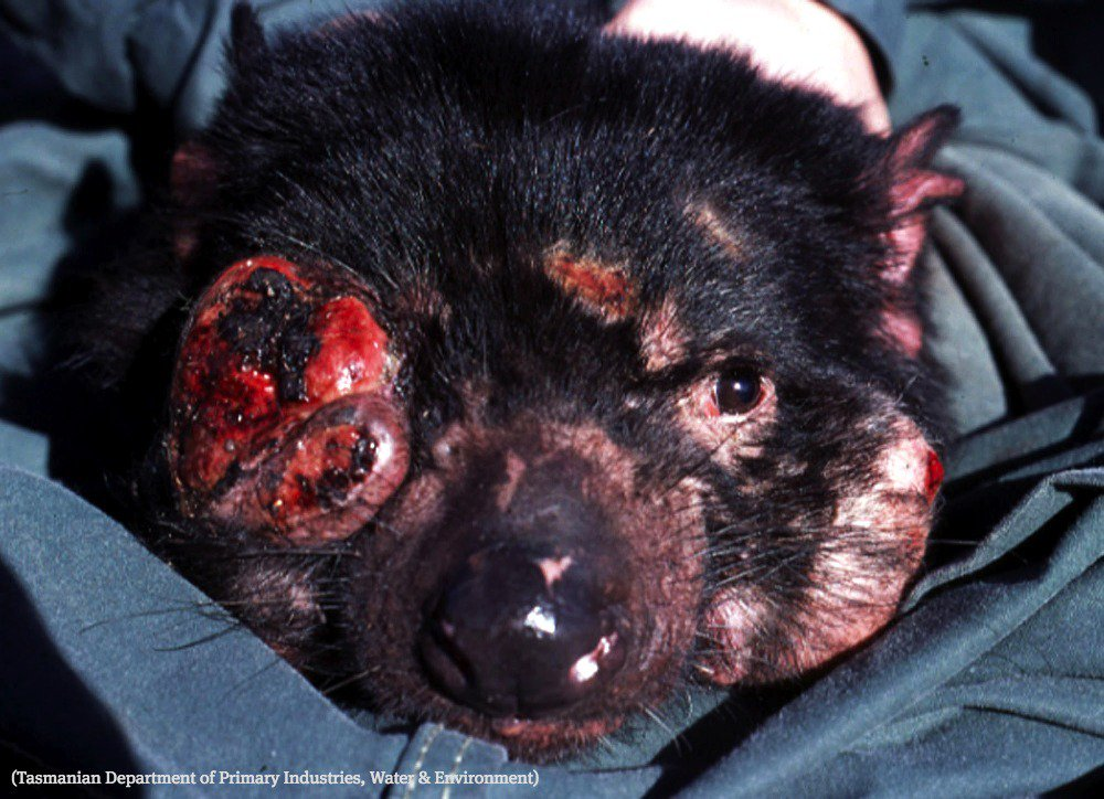 In study of Tasmanian devils with bizarre cancer, WSU scientists find reason for hope
