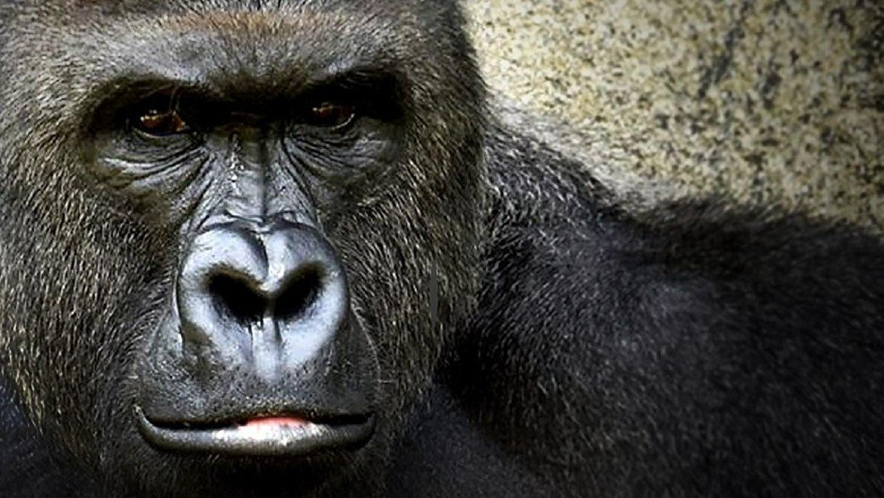 @PhillyZoo to hold naming contest for baby gorilla. Take a wild guess on the top choice.
