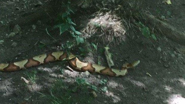 MORE: Venomous copperhead snake spotted in Ajax captured, officials say