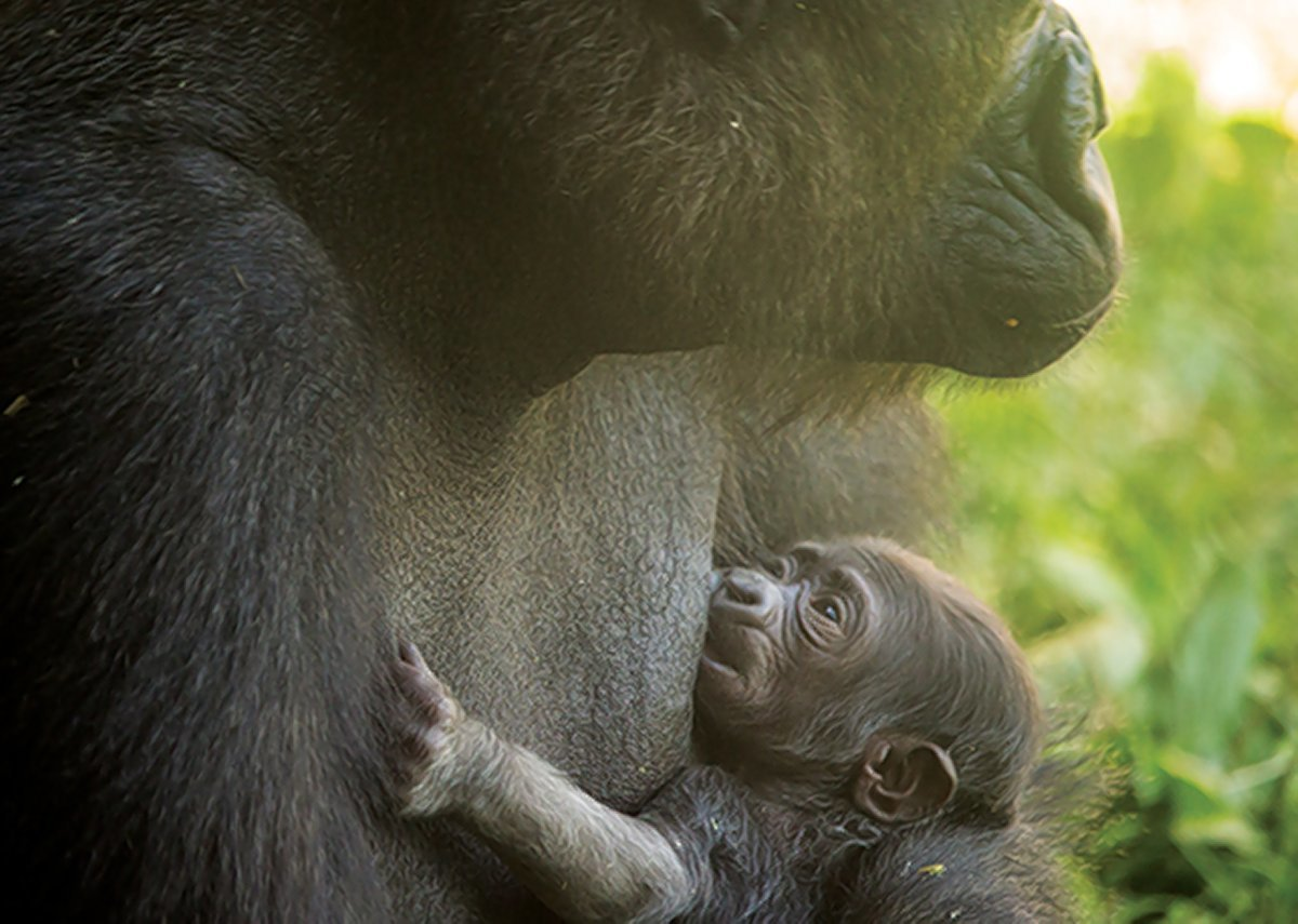 Baby gorilla born at Philly Zoo, kicking off naming contest. So of course Harambe came up
