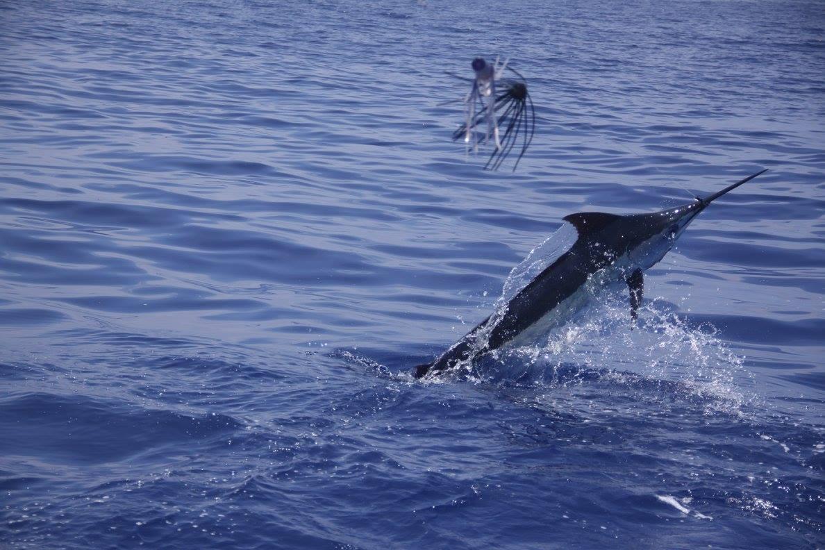 Kona, HI - Ihu Nui released a Blue Marlin and a Spearfish.