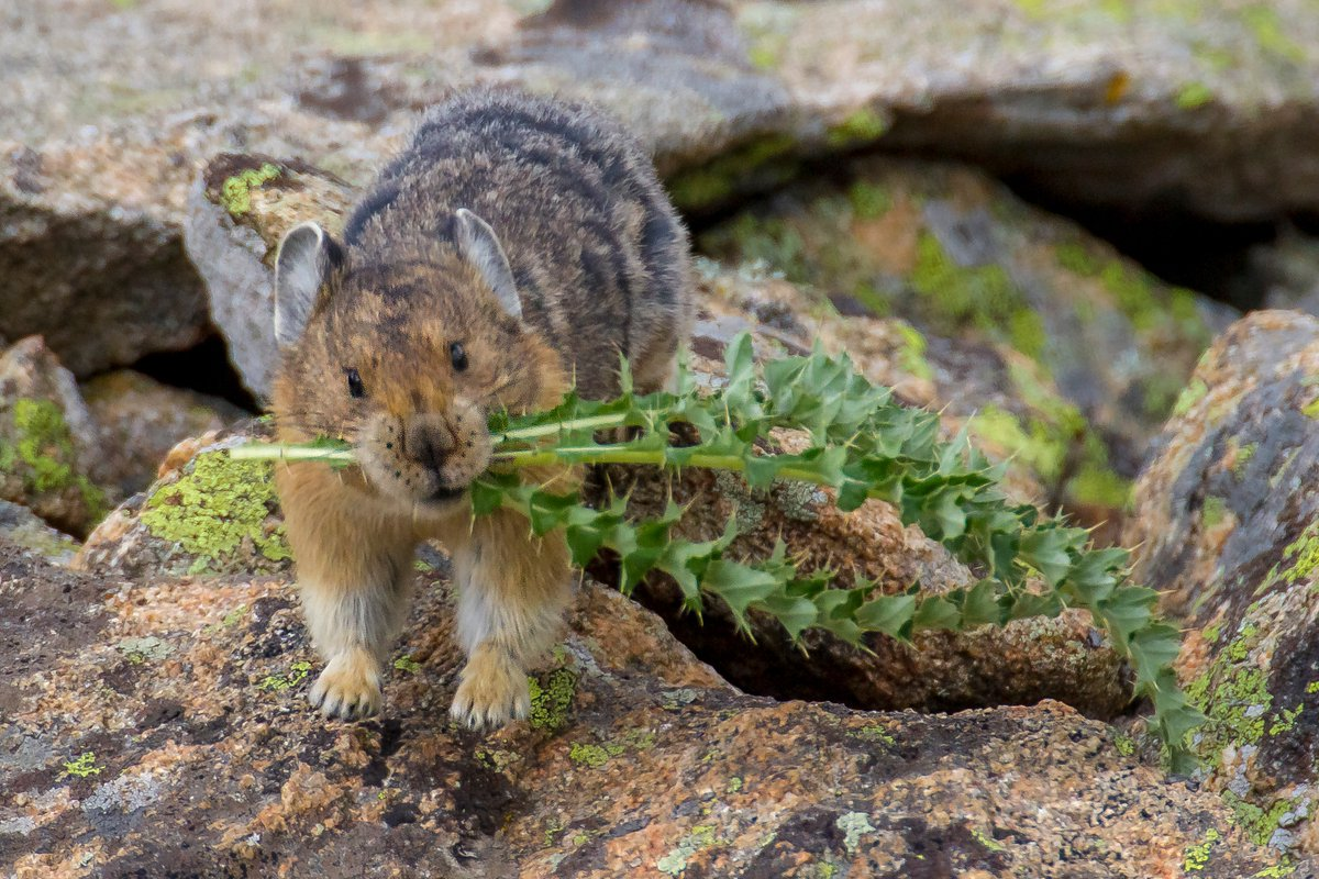 Who's preparing for winter? This little Pika is collecting alpine grasses to have plenty to eat all winter long. ks https://t.co/lqE5uAvote
