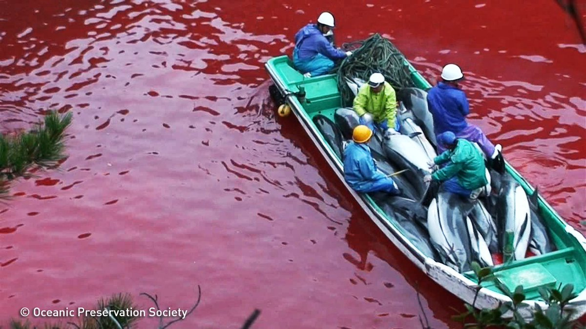Dolphin hunts in #Taiji have already begun. Will Japans prime minister do anything about it? https://t.co/N77ijzqvhY https://t.co/l9QwH1ssgw