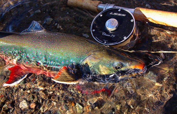 Male Dolly Varden in spawning colour, courtesy of Classic 79. 🇷🇺© LOOP Russia  #looptackle https://t.co/c1PLXMVDFQ
