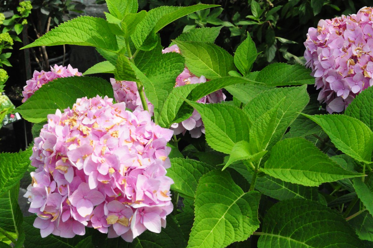 """oriental garden on twitter: """"'twist n' shout' hydrangea"""