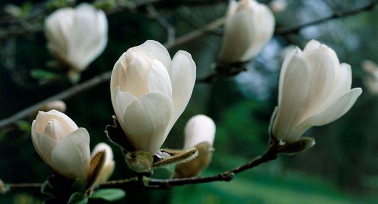 #Magnolia : Comment le #tailler ? &gt;&gt;  http:// bit.ly/2c4Hzp8  &nbsp;  <br>http://pic.twitter.com/C4Cv7uC1kS