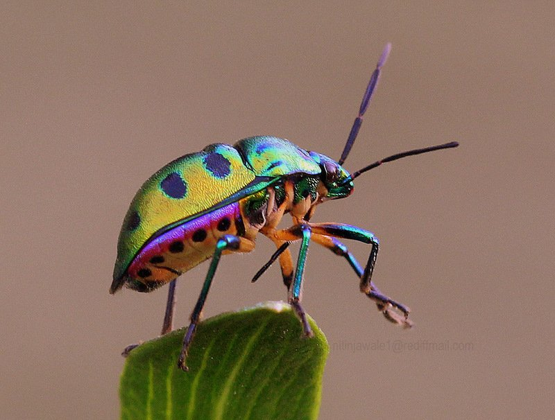 This is a Jewel bug. How beautiful is nature?! Photo by Nitin Jawale https://t.co/DsZYO26nOd https://t.co/g07tjwhEdu