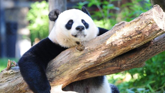 Amazing news! China's Giant Panda no longer endangered after decades of conservation efforts https://t.co/LcZVEHOGmW https://t.co/qpSS1uCH8Q