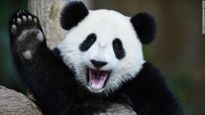 The giant panda is no longer an endangered species https://t.co/Tl5tM3Xzbg