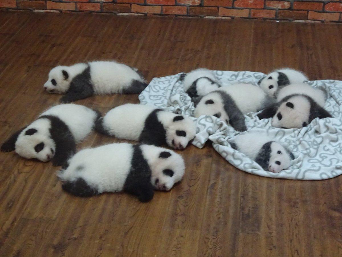 [動物その他]赤ちゃんパンダてんこ盛り!何でしょうこの凄まじい破壊力…死人が出てもおかしくない可愛さ。[2016年9月5日]