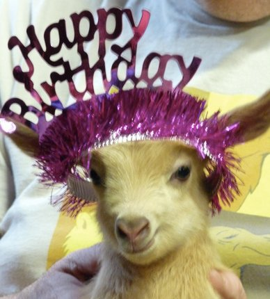 Cool Baby Goat On Twitter Happy Birthday At Sophiererickson