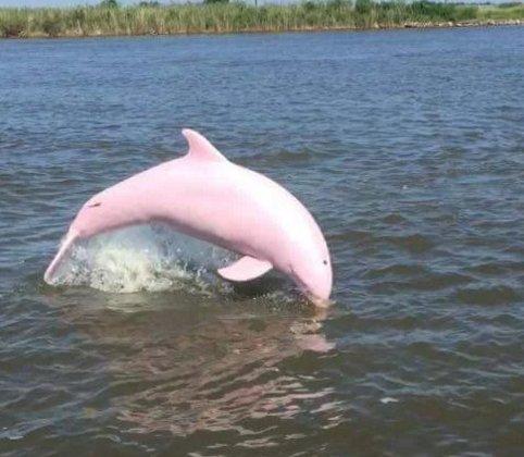 Pinkie, è tornato il raro delfino rosa albino