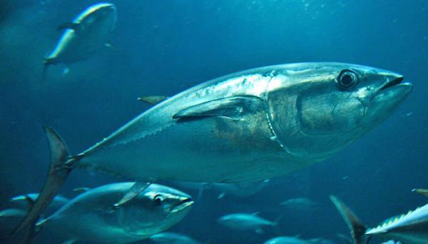 葛西臨海水族園のクロマグロは「サバ科」の魚。しかし、サバ科に含まれる魚たちがどんな進化を経て、今のようにさまざまな種に分かれて来たのか、謎に包まれていました…というのも…