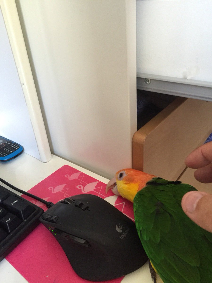 [鳥]くまさん曰く「マウスに擬態して握られるの待ってる状態」らしい。[]