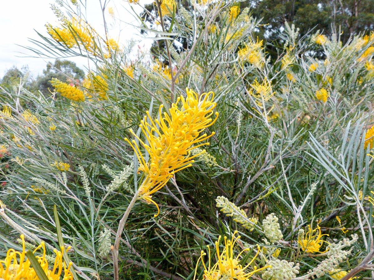 Simon Goodwin On Twitter Grevillea Bush Lemons Fast Growing To 3m Grevilleas W Large Yellow Flowers Are Uncommon Illawarragrevilleapark